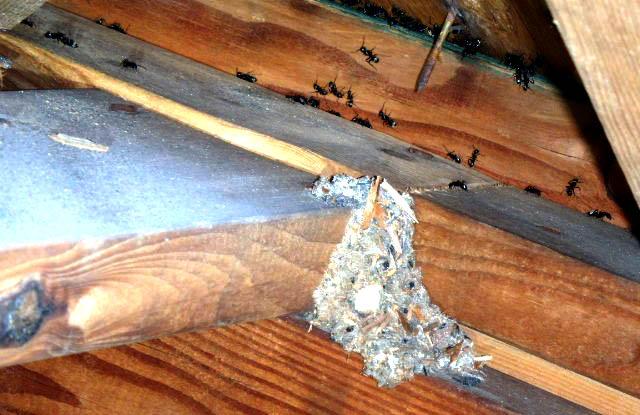 Carpenter Ants in Attic